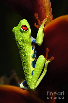 Photograph - Red- Eyed Tree Frog Costa Rica 5 by Bob Christopher