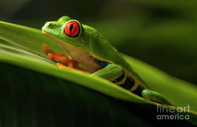 Photograph - Red- Eyed Tree Frog Costa Rica 7 by Bob Christopher