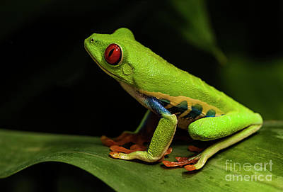 Photograph - Red- Eyed Tree Frog Costa Rica 8 by Bob Christopher