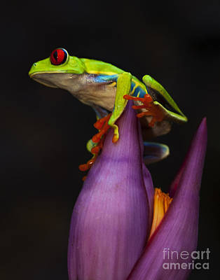Red Eyed Tree Frog Costa Rica Art Print by Bob Christopher