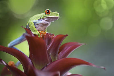 red eyed tree frog Costa Rica forest Art Print