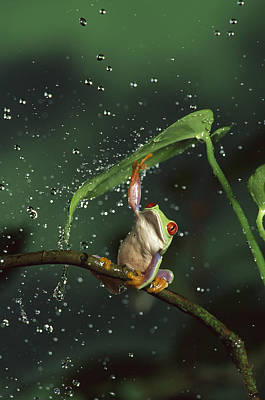 Red-eyed Tree Frog In The Rain Art Print by Michael Durham