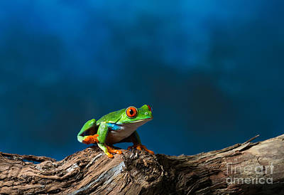 Photograph - Red Eyed Tree Frog by Les Palenik