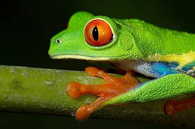 Red Digital Art - Red Eyed Tree Frog by Maye Loeser