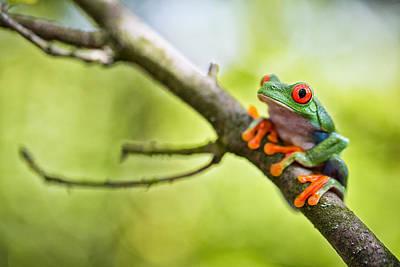 red eyed treefrog Costa Rica Art Print
