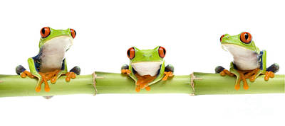 Red-eyed Treefrogs Art Print by Mark Bowler and Photo Researchers