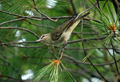 Photograph - Red Eyed Vireo by Debbie Oppermann