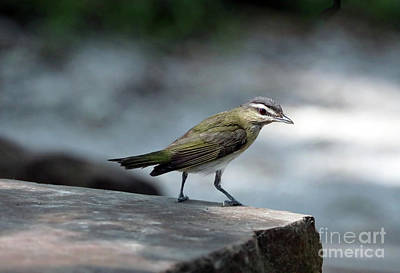 Photograph - Red-eyed Vireo by Elizabeth Winter