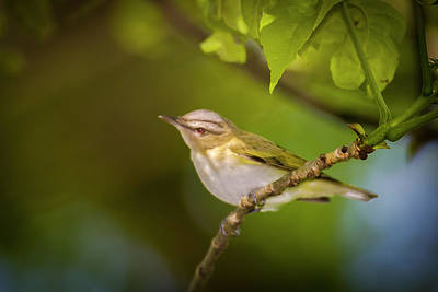 Photograph - Red Eyeed Vireo - Magee Marsh, Ohio by Jack R Perry