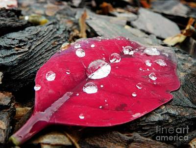 Photograph - Red Fall Leaf by Chad and Stacey Hall