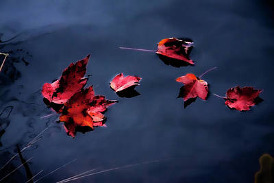 Photograph - Red Fall Leaves On Blue by Jeff Folger