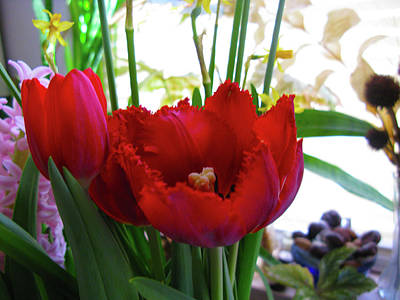 Wall Art - Photograph - Red Feathered Tulips by Linda Heberling