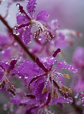Photograph - Red Fireweed by Robert Potts