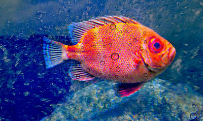 Photograph - Red Fish Blue Fish by Diana Angstadt