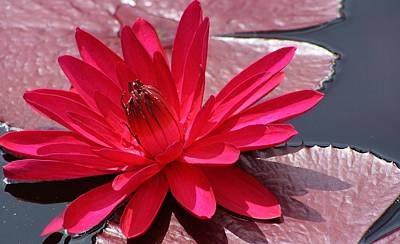 Photograph - Red Flare Water Lily 2 by Bruce Bley