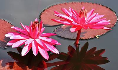 Photograph - Red Flare Water Lily by Bruce Bley