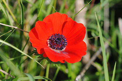 Red Anemone Coronaria 4 Art Print by Isam Awad