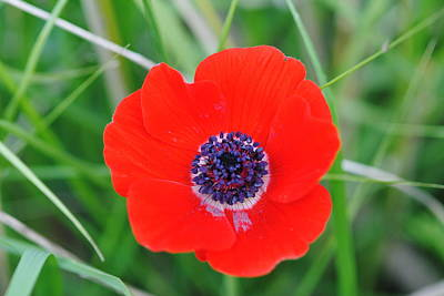 Red Anemone Coronaria 3 Art Print by Isam Awad