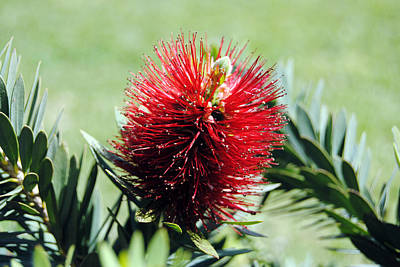 Callistemon - Bottle Brush 7 Art Print by Isam Awad