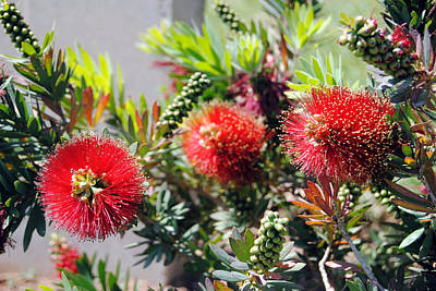 Callistemon - Bottle Brush 6 Art Print by Isam Awad
