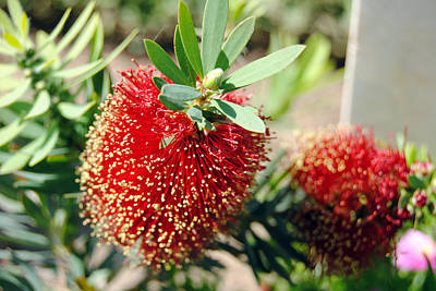 Callistemon - Bottle Brush 4 Art Print by Isam Awad