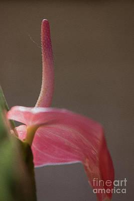 Photograph - Red Flower Bud by Kiran Joshi