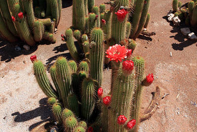 Photograph - Red Flower Cactus by Aidan Moran