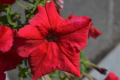 Photograph - Red Flower by Charles HALL