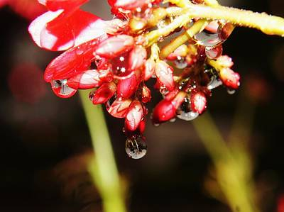 Photograph - Red Flower Droplets 2 by Lynda Dawson-Youngclaus