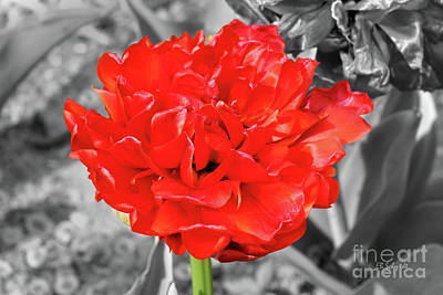 Photograph - Red Flower by E B Schmidt