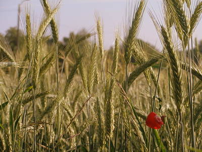 Photograph - Red Flower In Wheat by Michael Canning