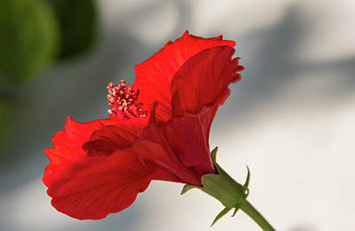 Photograph - Red Flower  by Manjot Singh Sachdeva