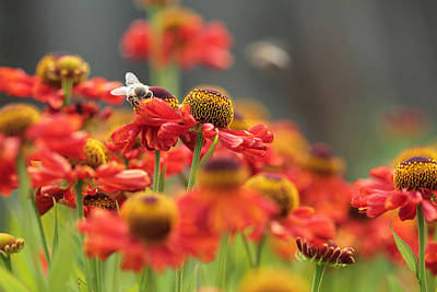 Photograph - Red Flower Meadow. Honey Bee On Red Flower. by Yana Shonbina