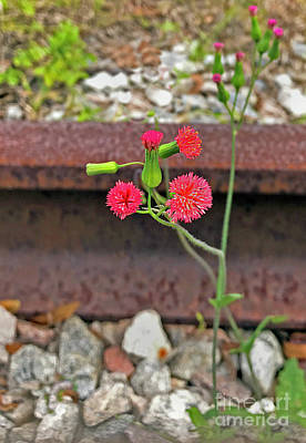Photograph - Red Flower On Rr Tracks Ver 2 by Larry Mulvehill