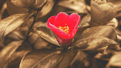 Art Print featuring the photograph Red Flower On Sepia Background by Jacek Wojnarowski