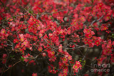 Photograph - Red Flowering Quince by Lara Morrison