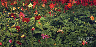 Red Flowers Field Art Print by Svetlana Sewell