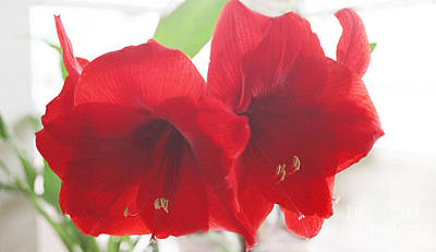 Photograph - Amaryllis by Rebecca Harman