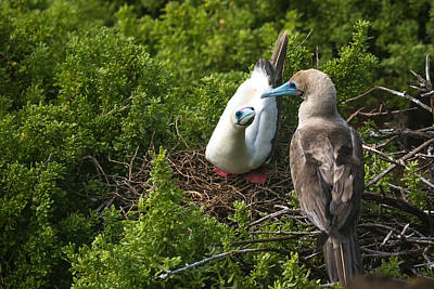Photograph - Red-footed Boobies Nesting by Harry Strharsky