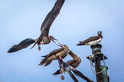 Photograph - Red Footed Booby Argument 4 by Gregory Daley  PPSA