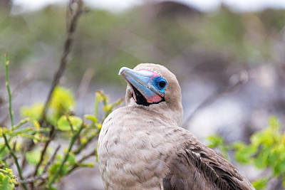 Red Footed Booby Closeup Art Print by Jess Kraft