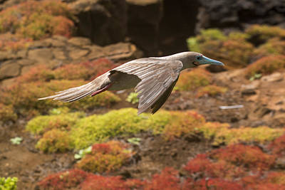 Photograph - Red-footed Booby In Flight by Harry Strharsky