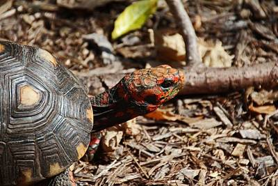 Photograph - Red-footed Tortoise IIi by Michiale Schneider