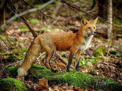 Photograph - Red Fox #1 by Timothy Harris