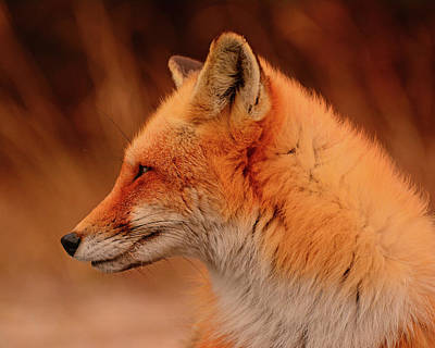 Photograph - Red Fox 2 by Raymond Salani III