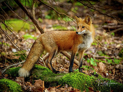 Photograph - Red Fox #2 by Timothy Harris
