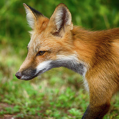 Photograph - Red Fox 2 by WB Johnston