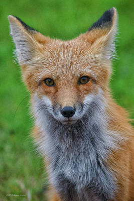 Photograph - Red Fox 3 by WB Johnston