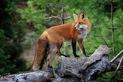 Photograph - Red Fox 4 by Gary Hall