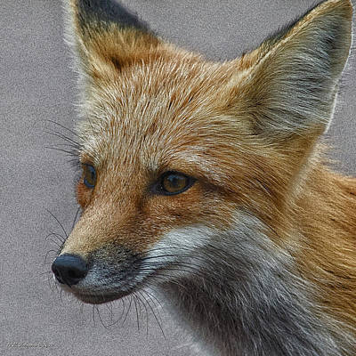 Photograph - Red Fox 4 by WB Johnston